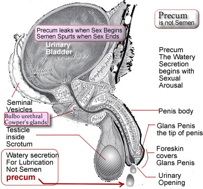 image showing precum with names of male external genitals