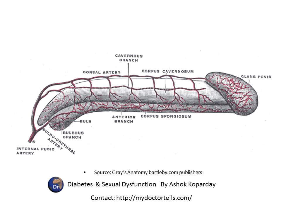 Supply of blood vessels to the penis: arteries  Sexual Health Best World Class Premier Treatment Samadhan India, Best Sexologist Mumbai by Ashok Koparday