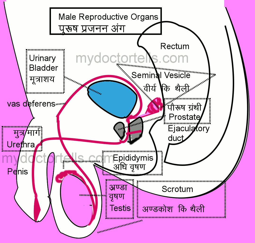 male reproductive system in hindi